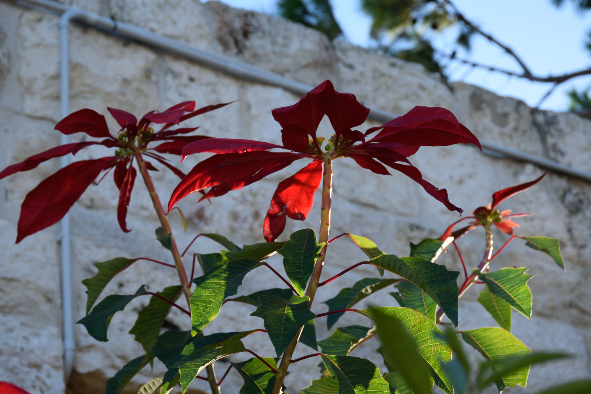 Poinsettia in the Balamand monastery in December