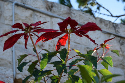 Sheep1389  Poinsettia in the Balamand monastery in December  2020-01-15 20:21:22